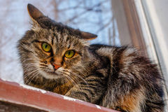 A ferocious, evil cat on the windowsill on the street. Angry, mi. Strustful cussing cat. The cat looks maliciously, incredulously Royalty Free Stock Image