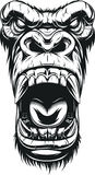 Ferocious gorilla head. Vector illustration, ferocious gorilla head, on white background, sketch Royalty Free Stock Photography