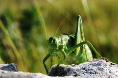 Ferocious green insect Stock Images