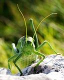 Ferocious green insect. Wart-biter bush-cricket (Decticus verrucivorus) close-up Stock Photography