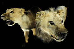 Ferocious lion family. Lion family with head, ferocious lion couple royalty free stock photography