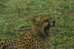 Ferocious look of cheetah with wide open mouth Royalty Free Stock Photography