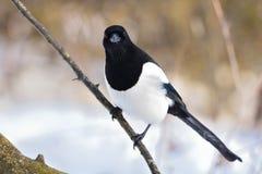 The ferocious look of a eurasian magpie sitting on a thin branch. The ferocious look of a eurasian magpie Pica pica sitting on a thin branch Stock Photography