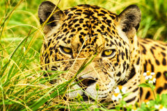 Ferocious Look Of A Wild Jaguar Stock Images