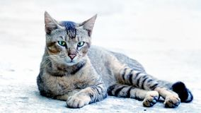 Ferocious looking cat sitting in floor casually Stock Images
