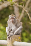 Ferocious monkey Royalty Free Stock Images