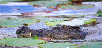 Ferocious Saltwater Crocodile. A ferocious Saltwater Crocodile in Kakadu National Park, Australia Royalty Free Stock Photos