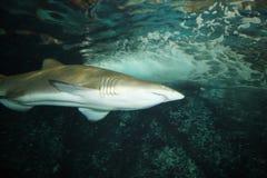 Ferocious shark. The ferocious shark under water Stock Image