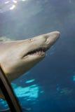 Ferocious shark. Captive in aquarium, transparent ceiling Stock Image