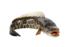 Ferocious snakehead Stock Photos