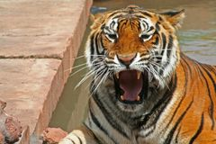 Ferocious Tiger. Tiger - he doesn't look happy Stock Photography