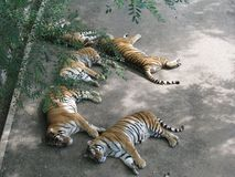 The ferocious tiger took a quiet nap in the cool shade. royalty free stock image