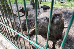 Ferocious wild boar in a cage Royalty Free Stock Photography