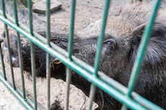Ferocious wild boar in a cage Stock Image
