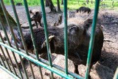 Ferocious wild boar in a cage. Top view Stock Photos