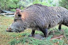 Ferocious wild boar. With fangs (stuffed) outdoors. The quality of medium format Royalty Free Stock Image