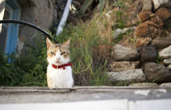 Feral cat. Feral white cat with red collar Royalty Free Stock Photo