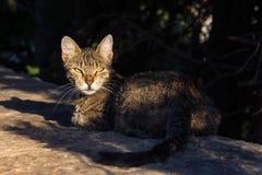 Ferral Cat Looking Back bij Camera van Steen Ledge During Sunset stock afbeelding