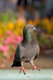 Ferral duva i trädgårds- och färgrik bakgrund Fotografering för Bildbyråer