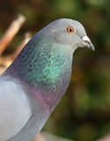 Ferral pidgeon. Royalty Free Stock Photo
