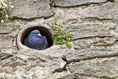 Ferral pigeon roosting pipe wall Royalty Free Stock Photo