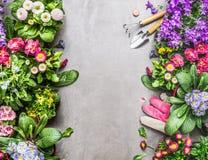 Ferramentas de jardim e luvas cor-de-rosa do trabalho com as flores coloridas do verão no fundo concreto de pedra cinzento Imagens de Stock