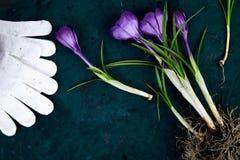 Ferramentas de jardinagem, flor do açafrão Mola Fotos de Stock