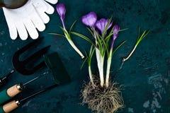 Ferramentas de jardinagem, flor do açafrão Mola Fotografia de Stock Royalty Free