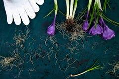 Ferramentas de jardinagem, flor do açafrão Mola Imagem de Stock Royalty Free