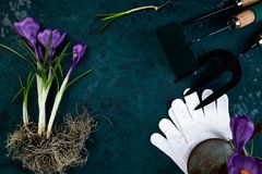 Ferramentas de jardinagem, flor do açafrão Mola Fotos de Stock Royalty Free