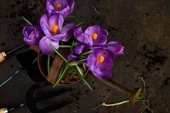 Ferramentas de jardinagem, plântulas novas, flor do açafrão Mola Fotos de Stock Royalty Free