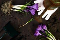 Ferramentas de jardinagem, plântulas novas, flor do açafrão Mola Fotografia de Stock Royalty Free
