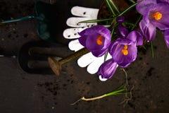 Ferramentas de jardinagem, plântulas novas, flor do açafrão Mola Fotos de Stock