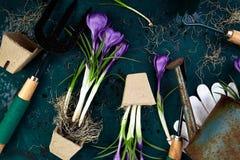 Ferramentas de jardinagem, potenciômetros da turfa, flor do açafrão Mola Fotos de Stock