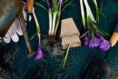 Ferramentas de jardinagem, potenciômetros da turfa, flor do açafrão Mola Foto de Stock Royalty Free