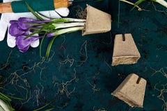 Ferramentas de jardinagem, potenciômetros da turfa, flor do açafrão Mola Imagens de Stock