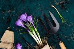 Ferramentas de jardinagem, potenciômetros da turfa, flor do açafrão Mola Fotografia de Stock Royalty Free