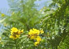 Ferrea Caesalpinia, ‡ p iá  Hoa Ä», въетнамское Стоковое Изображение