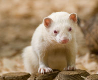ferret альбиноса милый Стоковая Фотография
