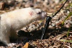 ferret испытывающий жажду Стоковое Изображение