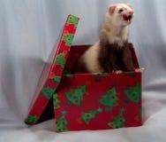 ferret коробки Стоковые Изображения RF