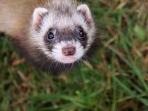 ferret малый Стоковое Изображение