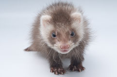 ferret младенца Стоковые Фотографии RF