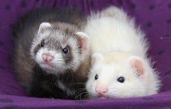 ferret младенцев Стоковые Фотографии RF