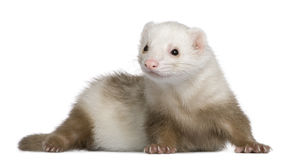 Ferret, 1 and a half years old stock image