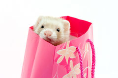 Ferret Royalty Free Stock Photo