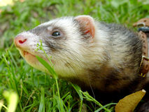 The ferret Stock Image
