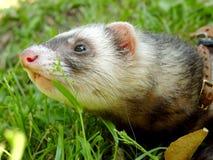 The ferret Stock Image