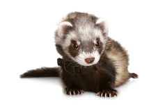 Ferret. On a white background stock image