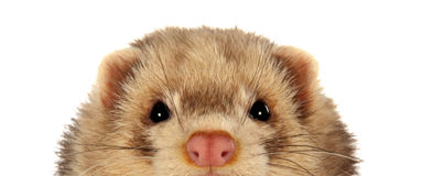 Ferret. Portrait of a male ferret peeping Royalty Free Stock Images